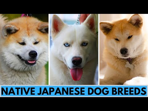 6 Native Japanese Dog Breeds