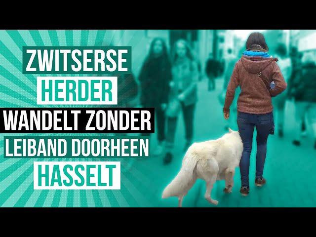 Zwitserse Herder wandelt zonder leiband doorheen Hasselt