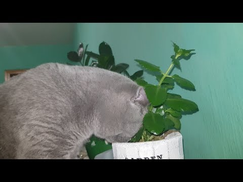 IDOL British Shorthair cat: FLOWER HD