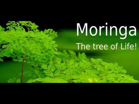 The most beneficial plant in the world is moringa