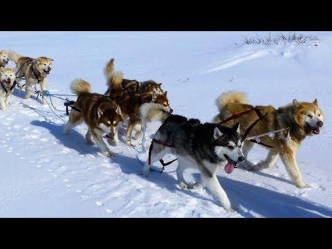 Alaskan Malamutes / Arctic Expedition with Joe Henderson