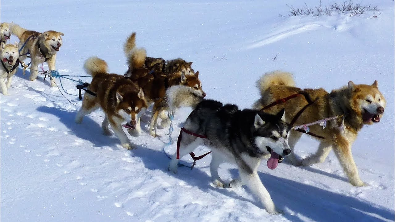 Alaskan Malamutes Arctic Expedition With Joe Henderson