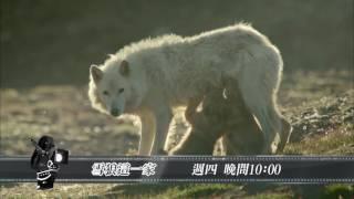 十點全紀錄-雪狼這一家