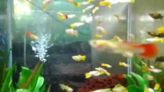 Ikan guppy dalam akuarium