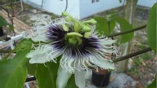 Growing Passion Fruit In Coco Coir On A Trellis Update 5-3-2012