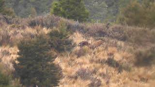 Sika stag fights red stag