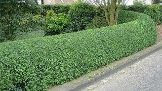 Живая изгородь(Живые изгороди -- это, безусловно, самый недорогой тип садовых оград, к тому же сливающийся с общим ландшафто..., 2014-01-29T17:52:59.000Z)