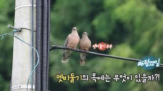 멧비둘기[Rufous Turtle Dove]의 목에는 …