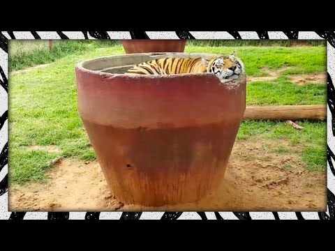 If you look closely, you can see the second tiger