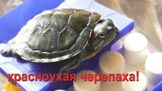 красноухие черепахи уход. содержание дома