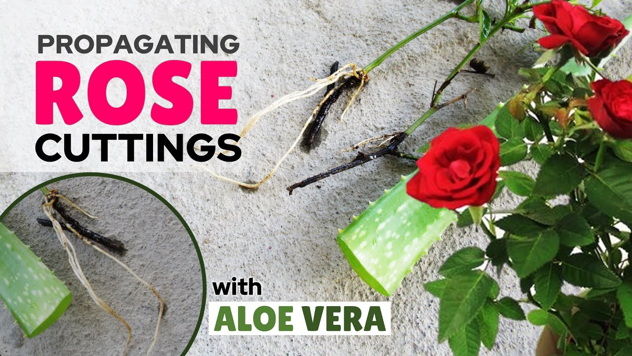 Propagating Rose From Cuttings Using Aloe Vera as Rooting Hormone