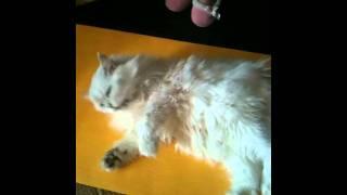 """Мой кот Персидский Шиншилла """"Пушок"""""""