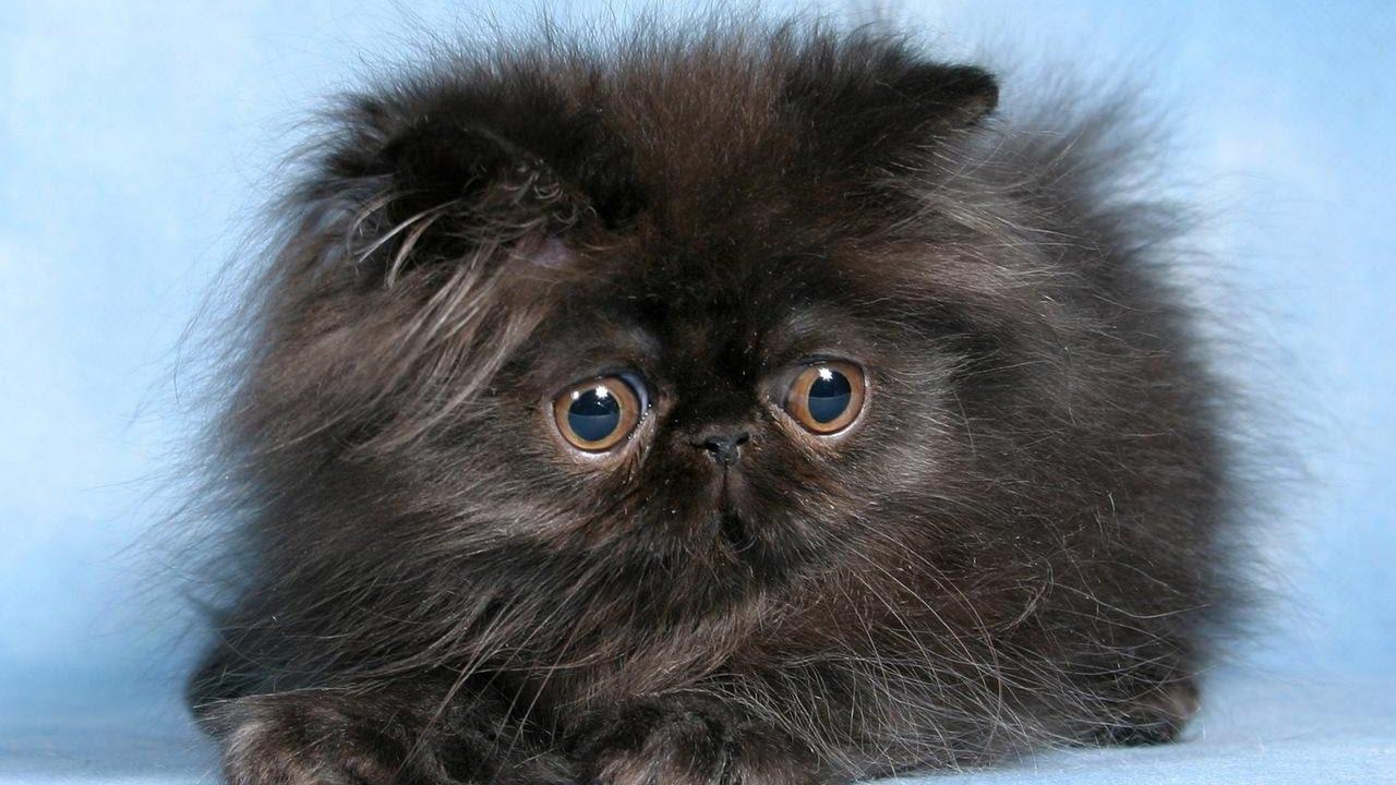 Персидская порода кошки. Почему стоит завести!