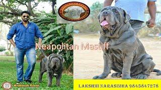 Contact Mr Lakshmi Narasimha +91 9845847278  high quality NEAPOLITAN MASTIFF puppies!!