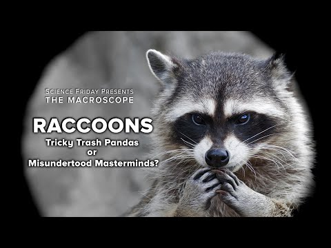 The Woody Show - Why Are Raccoons So Good at Stealing Your Trash?