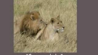 African Safari - Lions Mating - botswana love story