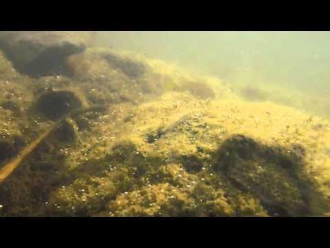 Hemichromis sp, Jewel Cichlid guarding fry in the wild - Underwater video.