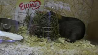 Морская свинка Чуча и наши хомячки/ Наши питомцы/ Второй день