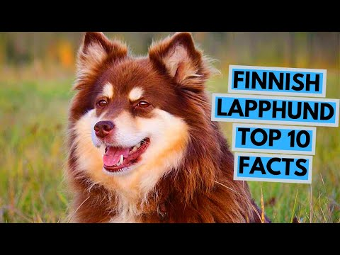 Finnish Lapphund - TOP 10 Interesting Facts