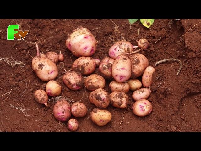 Potato Farming tips: How to manage potato farms?