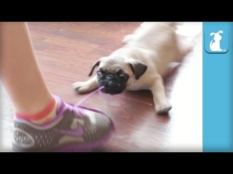 Epic Pug Puppy Battles Epic Shoe - Puppy Love