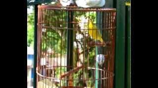 Yellow-eye Finch (2)