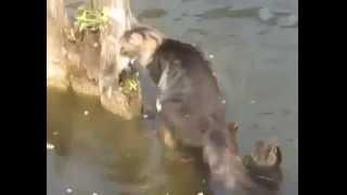 Прикольное видео как кот ловит рыбу   смешные кошки и котята