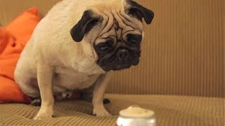 Food Critic Pug: Second Course