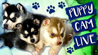 AKK Puppy Cam! Meet The Alaskan Klee Kai Dog Breed