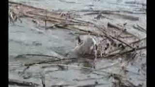 ตกปลากดคัง-แก่งกระจาน Fishing (Asian redtail catfish,Red tail Mystus,Siam Redtail Catfish)