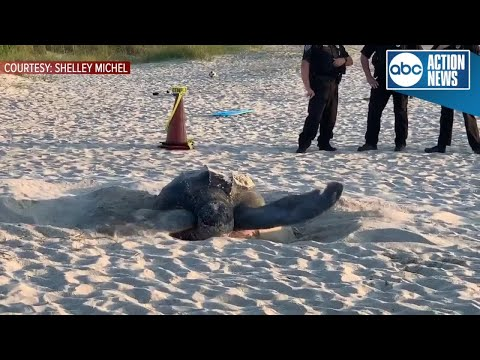 800-pound Endangered Sea Turtle Nests On Melbourne Beach