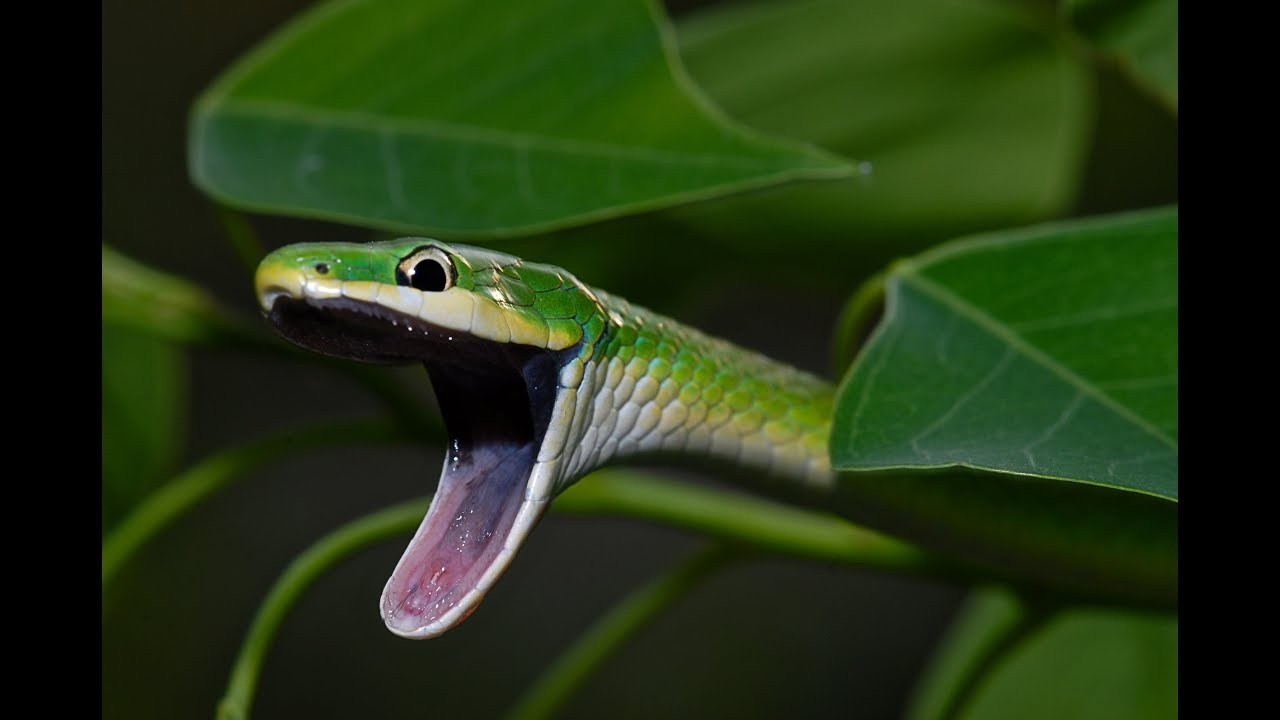 Rough Green Snake - YouTube