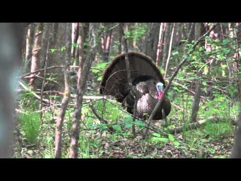 American Strutter - Alabama Hardwood Bottom Turkey Hunt