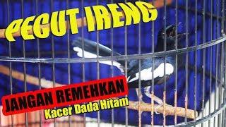Jangan Remehkan Kacer Dada Hitam Buktinya Kacer PECUT IRENG Juaranya Di Super Perubahan Cup 1