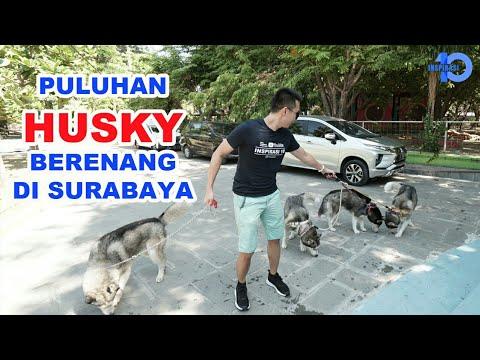 PULUHAN HUSKY BERENANG DI SURABAYA