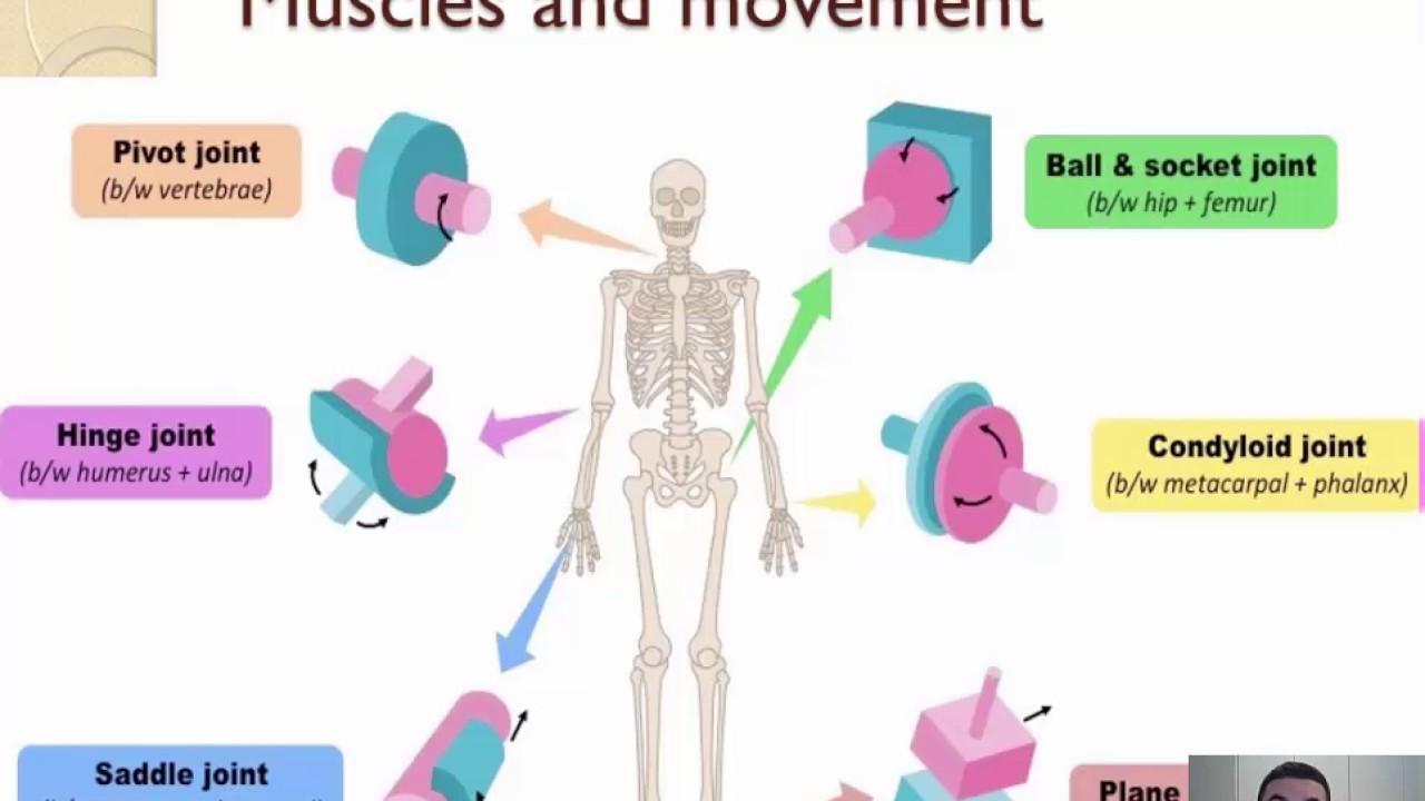 112 Movement 1 2 Youtube Saddle Joint Diagram