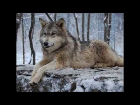 Tranquil Native American (Style) Music With Wolf Sounds