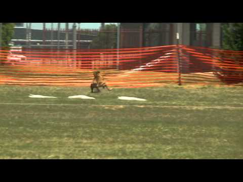AKC Coursing Ability Test