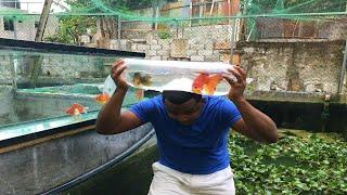 peces goldfish que se volvieron monstruo realidad o historia parte 2