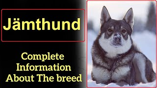 Jämthund. Pros and Cons, Price, How to choose, Facts, Care, History