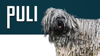 Puli   Complete Dog Breed Guide   Petmoo #PuliDogBreed