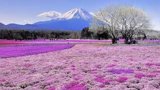 Картинка горы. Красивые поля цветов на фоне вулкана Фудзияма, Япония.