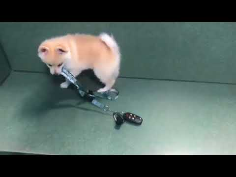 Pomeranian Alaskan Klee Kai playing with keys