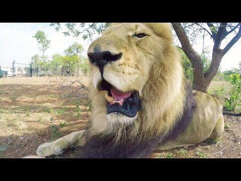 Bongani's Tooth Surgery Update! | The Lion Whisperer