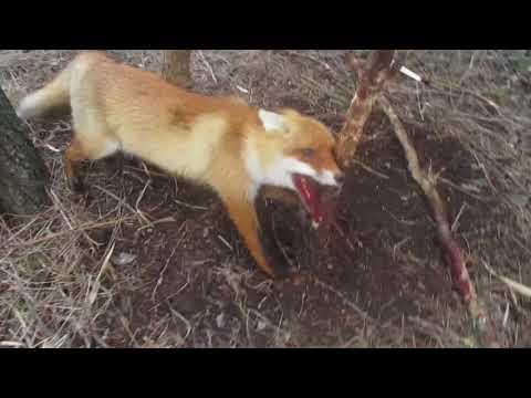 Вопрос: Как выманить лисицу из норы?