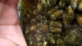 Urban Beekeeping: #41 Queen Bee Inside The Observation Hive Being Fed, Cared For, & Lays Eggs!