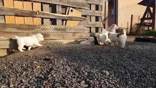Щенки Алабая  alabai puppies ( купить щенка)