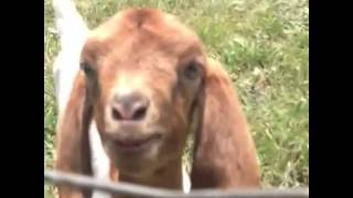 baby goats playing