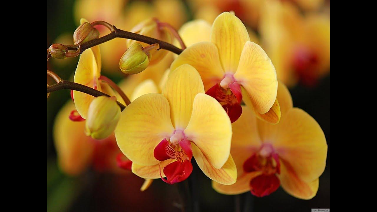 Орхидеи какого бывают цвета
