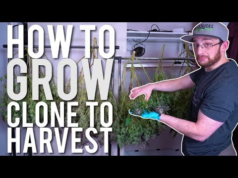 CLONE TO HARVEST: CANNABIS GROW CYCLE ( FULL PROCESS )